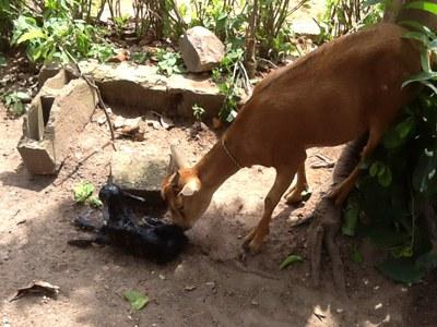 14 Août 2015          La chèvre achetée au marché pour  le repas de ce jour refuse d'être mangée en mettant bas un agneau