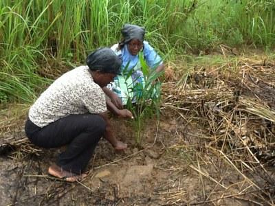 15 Août 2015          Plantation des palmiers   sélectionnés ( dénommés plantes de l'amitié) à Morija
